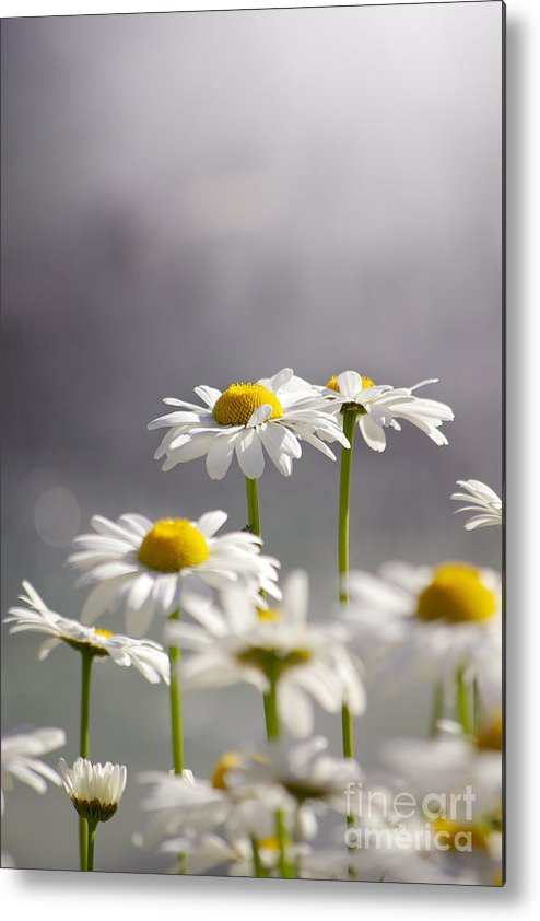 Agriculture Metal Print featuring the photograph White Daisies by Carlos Caetano