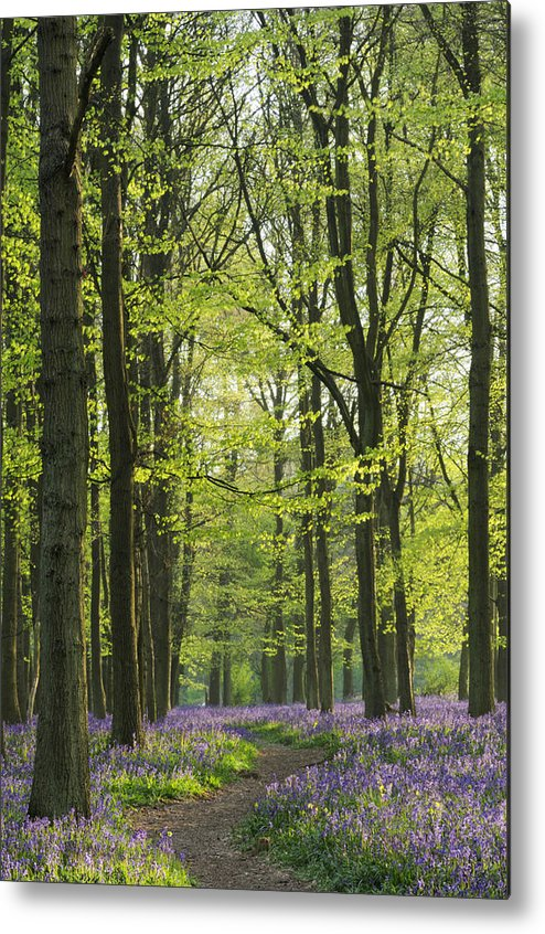 Bluebell Metal Print featuring the photograph Bluebell Wood by Liz Pinchen