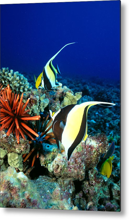30-pfs0056 Metal Print featuring the photograph Hawaiian Reef Scene by Dave Fleetham - Printscapes