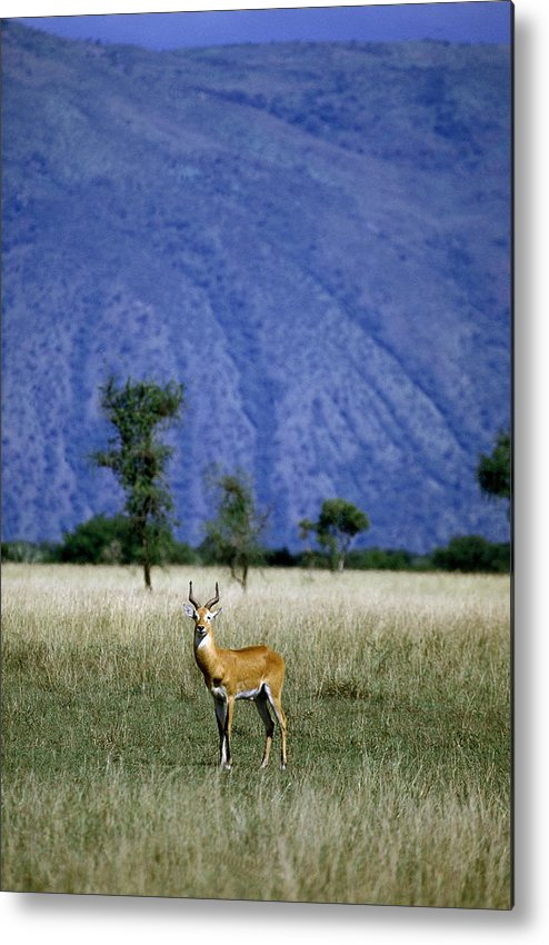 Uganda Kob Metal Print featuring the photograph A Male Ugandan Kob Stands His Ground by David Pluth