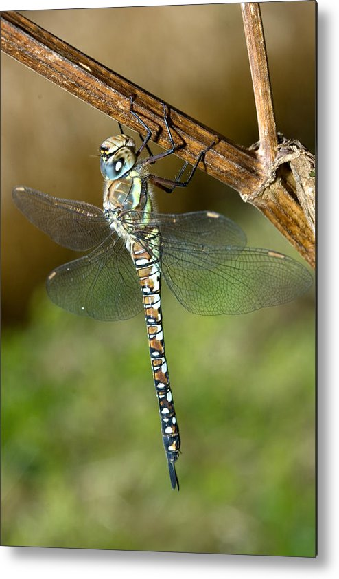 Aeshna Mixta Metal Print featuring the photograph Aeshna Mixta Dragonfly by Bob Kemp
