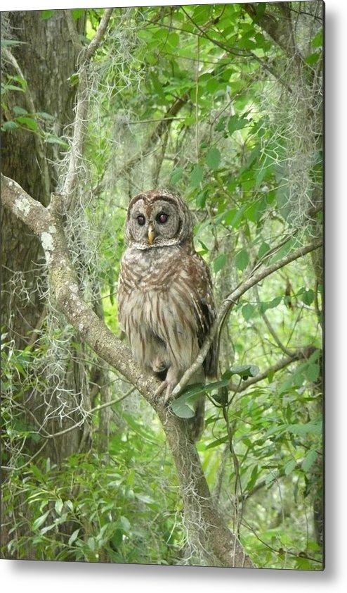 Nature Metal Print featuring the photograph Barred Owl I by Kathy Schumann