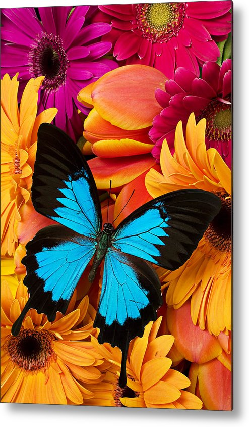 Butterfly Tulips Daisy�s Metal Print featuring the photograph Blue Butterfly On Brightly Colored Flowers by Garry Gay