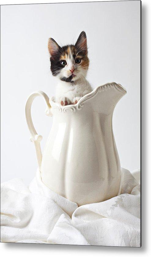Calico Kitten White Pitcher Metal Print featuring the photograph Calico Kitten In White Pitcher by Garry Gay