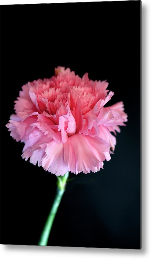 Flower Photograph Metal Print featuring the photograph Carnation by David Hollingworth