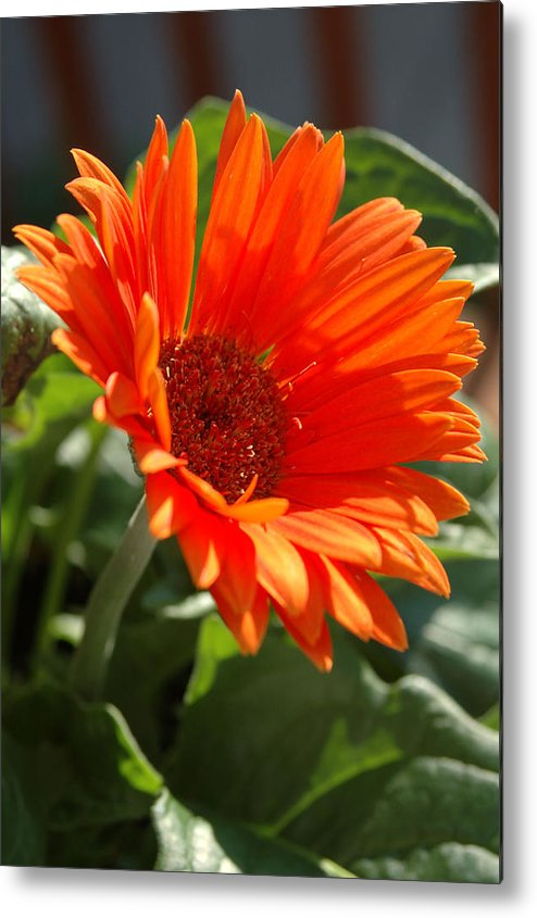 Daisy Metal Print featuring the photograph Daisy by Kathy Schumann