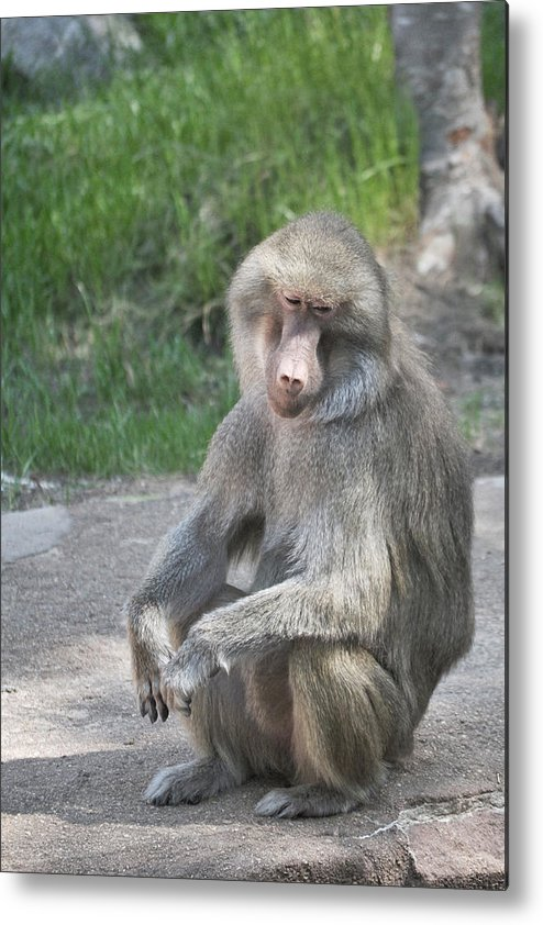 Baboon Metal Print featuring the photograph Day Dreamer by Margaret Augustine