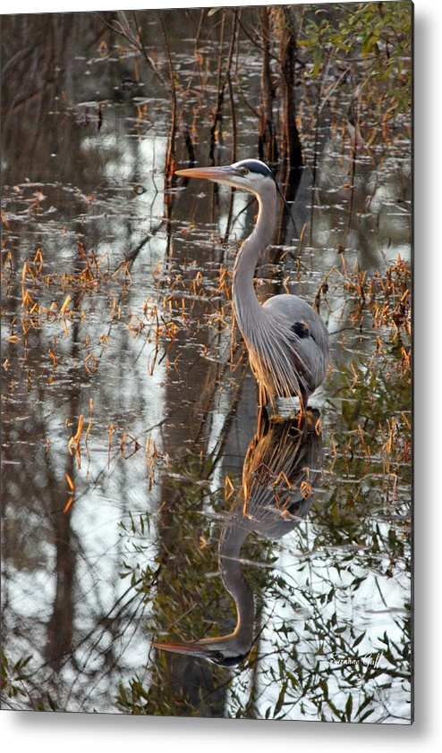 Great Blue Heron Metal Print featuring the photograph Great Blue Heron And Reflection by Suzanne Gaff