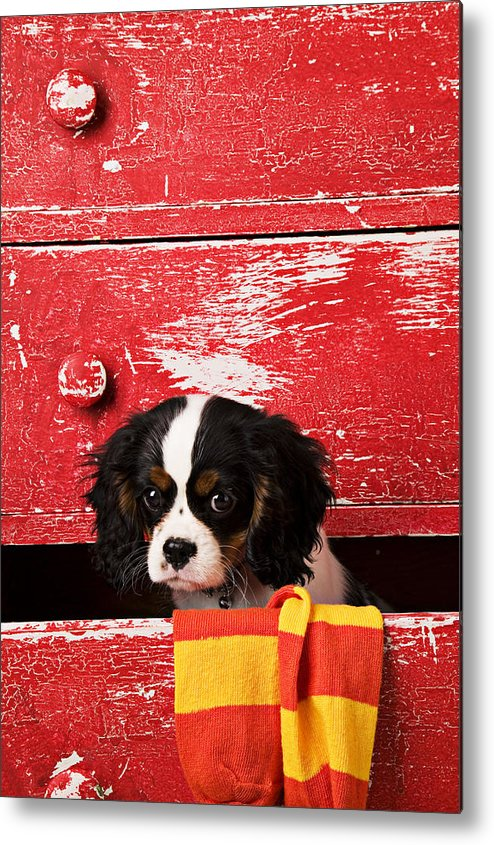 Puppy Metal Print featuring the photograph King Charles Cavalier Puppy by Garry Gay