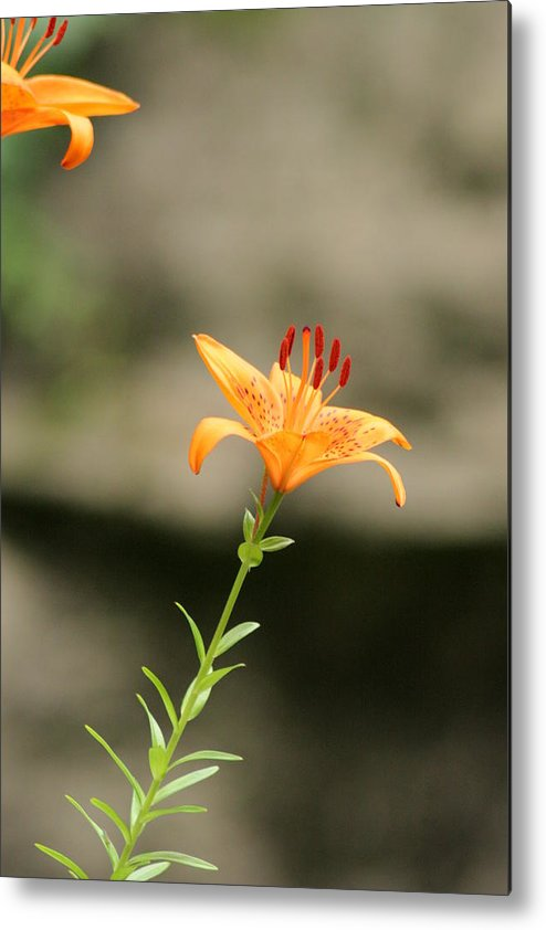 Lily Metal Print featuring the photograph Lily Stands Alone by ShadowWalker RavenEyes Dibler