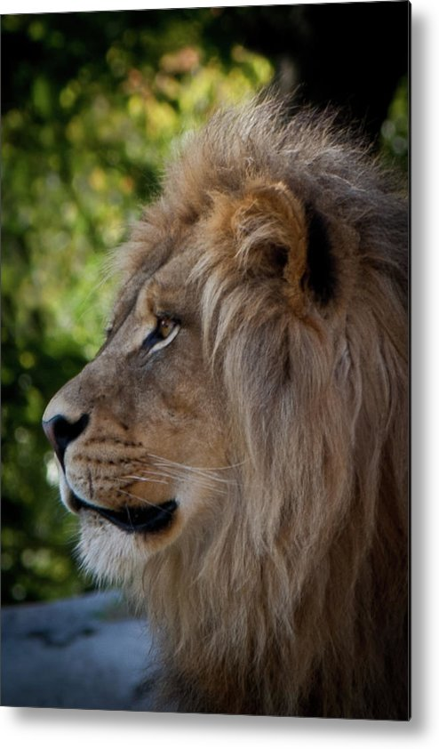 Lion Metal Print featuring the photograph Lion Portrait Of A Leader by Robin Frazier