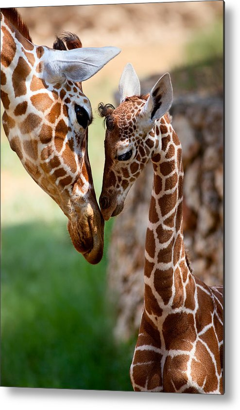 Giraffe Metal Print featuring the photograph Parent-child Relationship by Yuri Peress