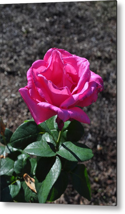 Rose Metal Print featuring the photograph Pink Rose by Luke Moore