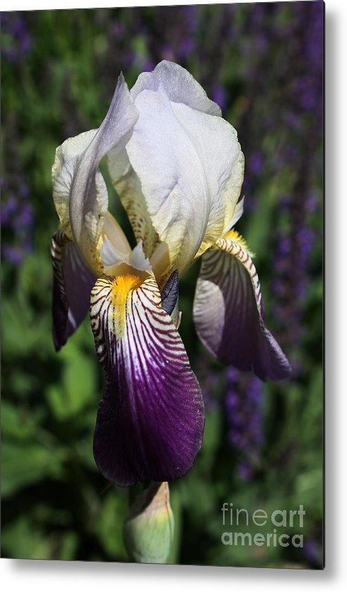 Iris Metal Print featuring the photograph Purple On Purple Iris by Marjorie Imbeau