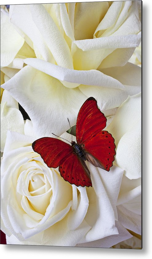 Red Metal Print featuring the photograph Red Butterfly On White Roses by Garry Gay