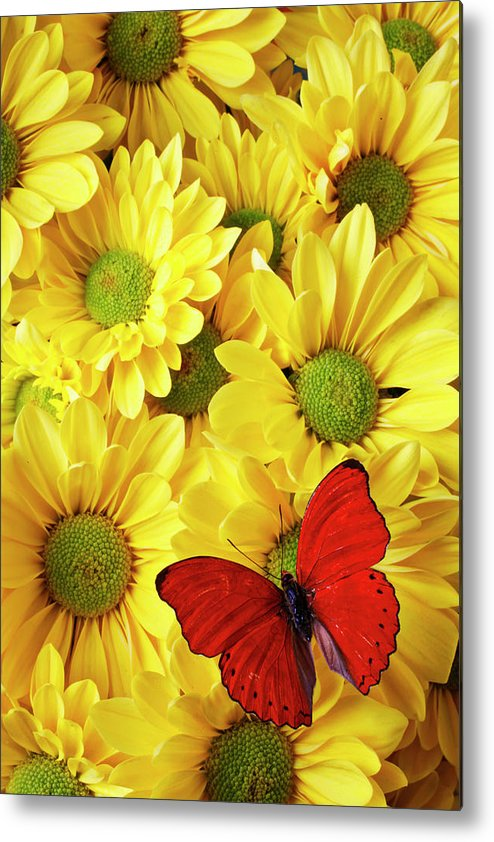 Red Butterfly Yellow Mums Flowers Metal Print featuring the photograph Red Butterfly On Yellow Mums by Garry Gay