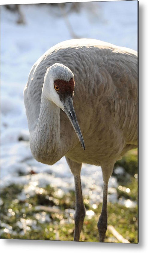 Bird Metal Print featuring the photograph Sandhill Crane In Winter by Lawrence Christopher