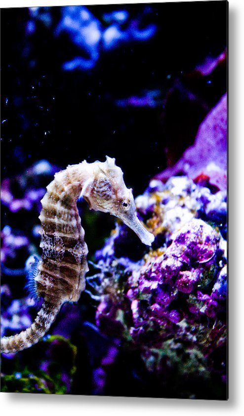 Seahorse Metal Print featuring the photograph Sea Horse by Brenton Woodruff