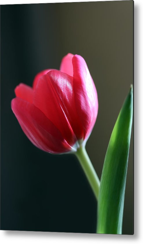 Tulip Metal Print featuring the photograph Sun Kissed Tulip I by Lesley Smitheringale