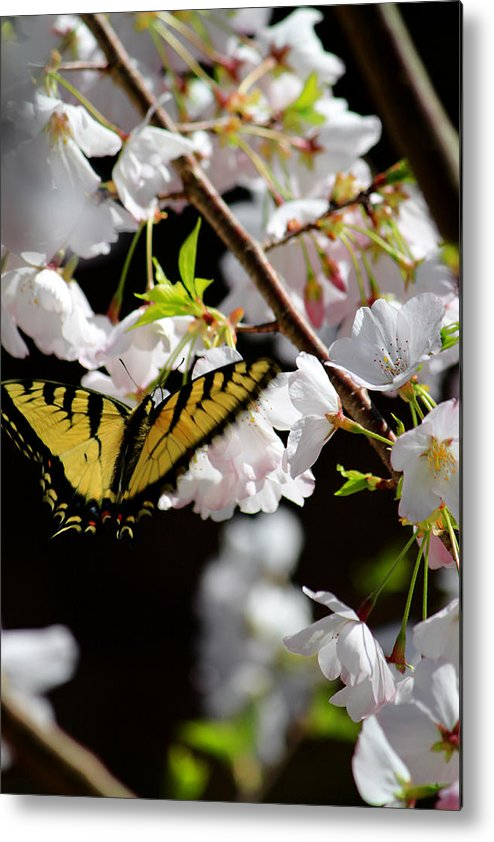 Fine Art Metal Print featuring the photograph Swallowtail by Nathan Grisham