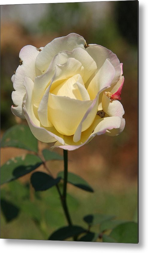 Rose Metal Print featuring the photograph White Rose by Donald Tusa