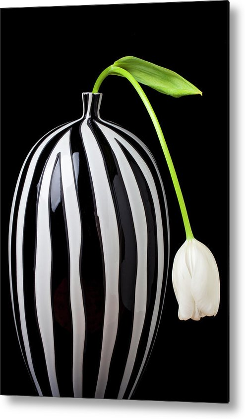 White Metal Print featuring the photograph White Tulip In Striped Vase by Garry Gay