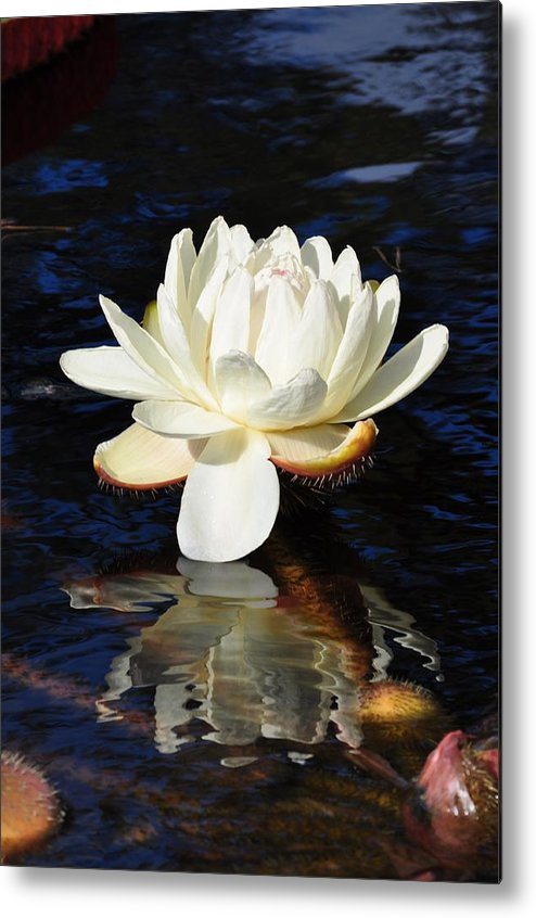 Floral Metal Print featuring the photograph White Water Lily by Andrea Everhard