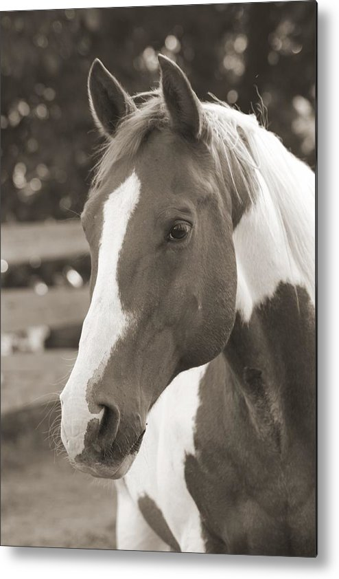Betsy Lamere Metal Print featuring the photograph Zebb by Betsy LaMere