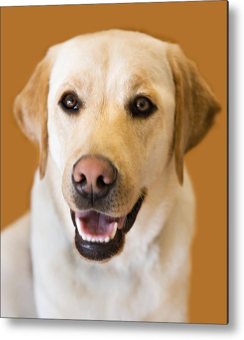 Lab Metal Print featuring the photograph Golden Lab by Marilyn Hunt