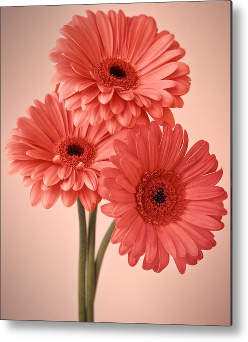 Flora Metal Print featuring the photograph Three Gerberas 1 by Joseph Gerges