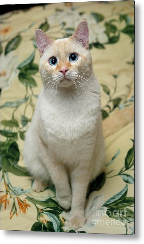 Blue Eyes Metal Print featuring the photograph Flame Point Siamese Cat by Amy Cicconi