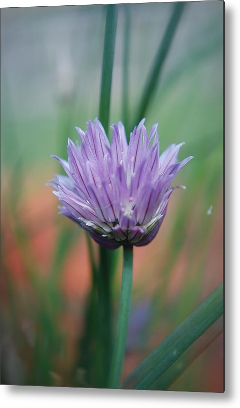 Flowers Metal Print featuring the photograph Chive Flower by Lisa Gabrius