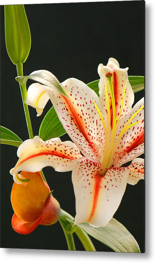 Lily Metal Print featuring the photograph Lily by Dennis Hammer
