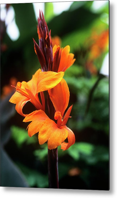 'roi Humbert' Metal Print featuring the photograph Canna Lily 'roi Humbert' by Adrian Thomas
