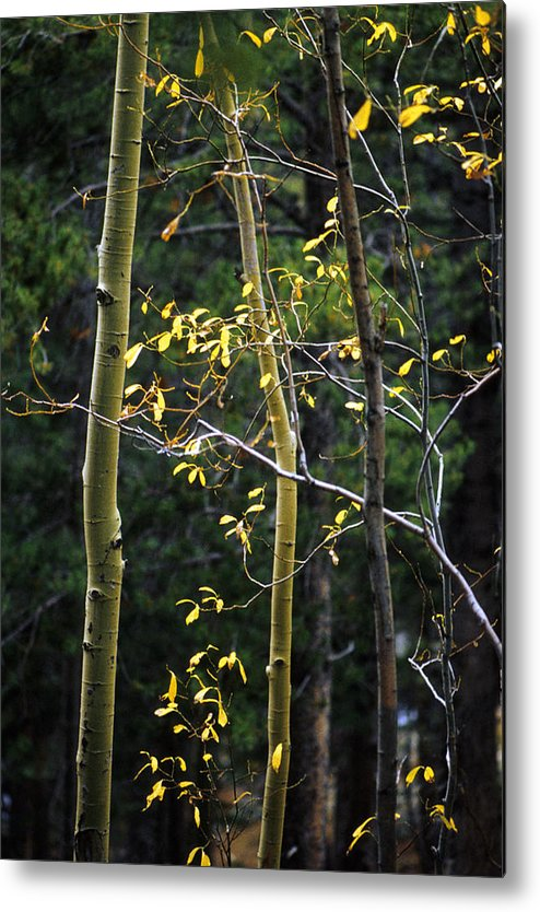 Aspen Metal Print featuring the photograph Late Aspen by Jerry McElroy