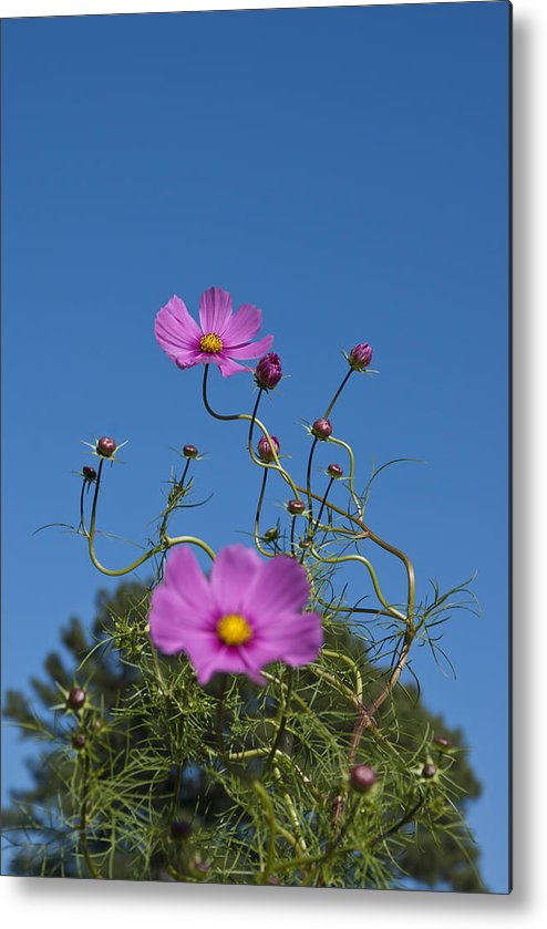 Cosmos Metal Print featuring the photograph Purple Cosmos by Tracy Lynn