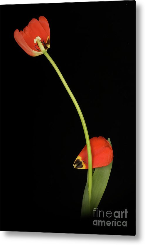 Fine Art Metal Print featuring the photograph Red Tulip Falling Apart by Bora Baysal