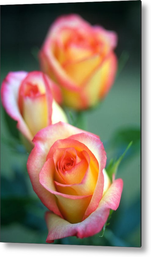 Florals Metal Print featuring the photograph Rose Trio by Kathy Yates