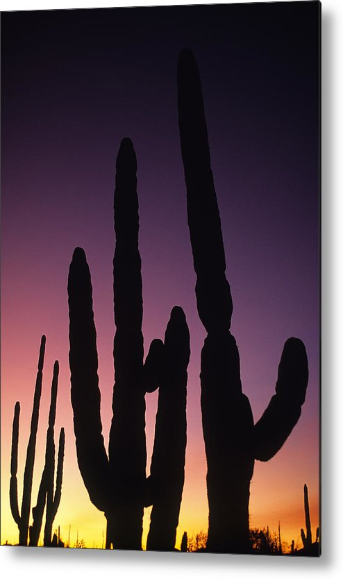 Saguaro National Park Metal Print featuring the photograph Saguaro Cactus Are Silhouetted By An by Bill Hatcher