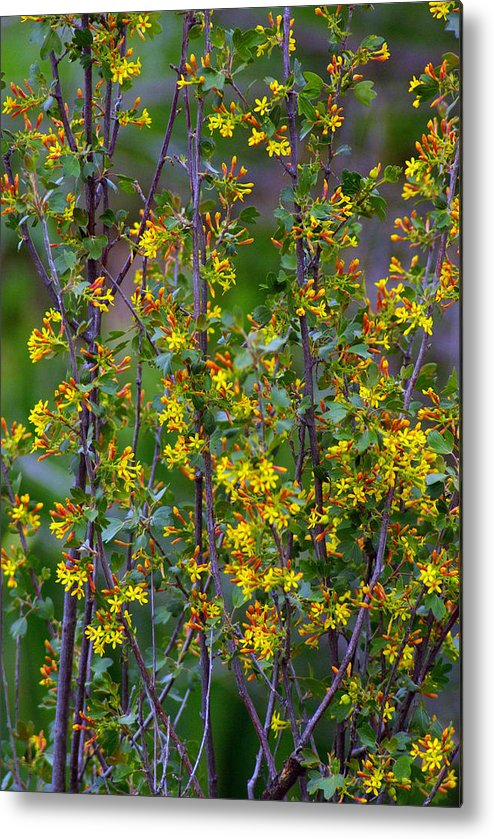 Spring Metal Print featuring the photograph Spring Arrives by Jenny May