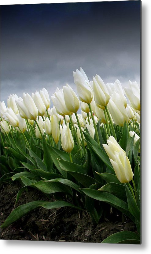 White Tulips Metal Print featuring the photograph White Stormy Tulips by Karla DeCamp