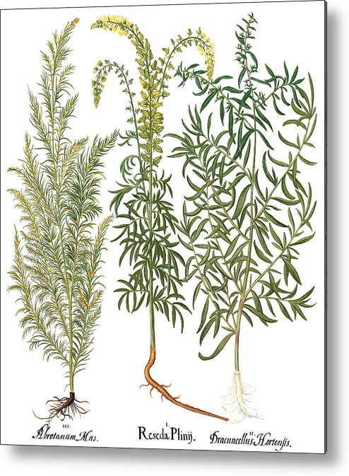 1613 Metal Print featuring the photograph Artemisiae & Reseda by Granger
