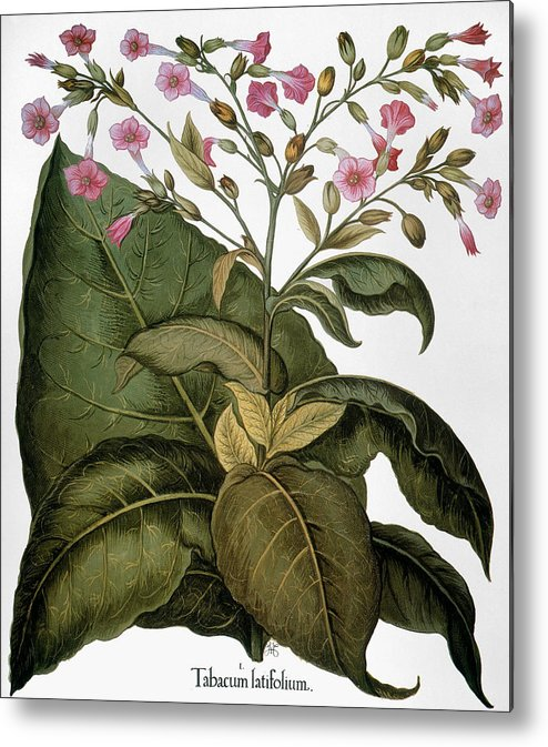 1613 Metal Print featuring the photograph Botany: Tobacco Plant by Granger