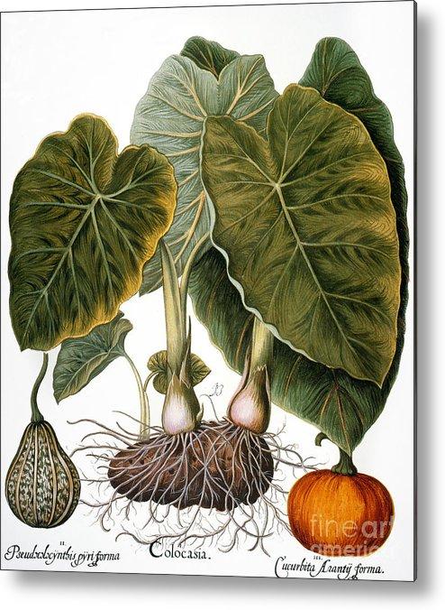 1613 Metal Print featuring the photograph Gourd, Taro, & Pumpkin by Granger