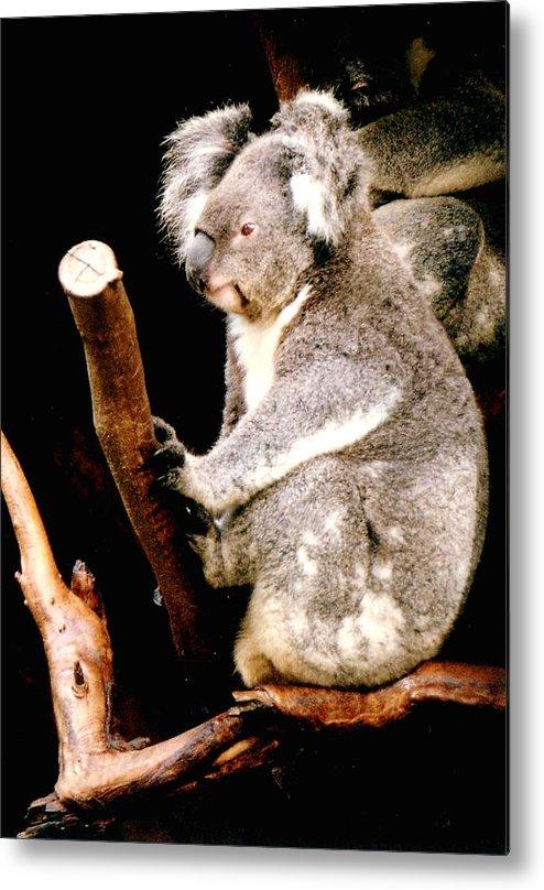 Koala Metal Print featuring the photograph Blue Mountains Koala by Darren Stein