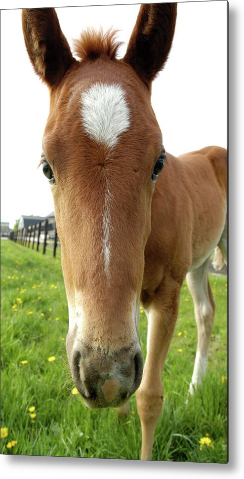 Filly Metal Print featuring the photograph Filly Face by Kathi Shotwell