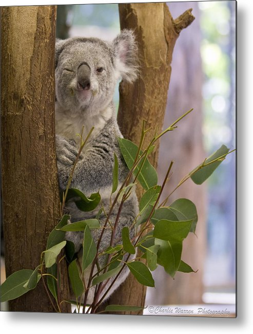 Koala Metal Print featuring the photograph Wink by Charles Warren