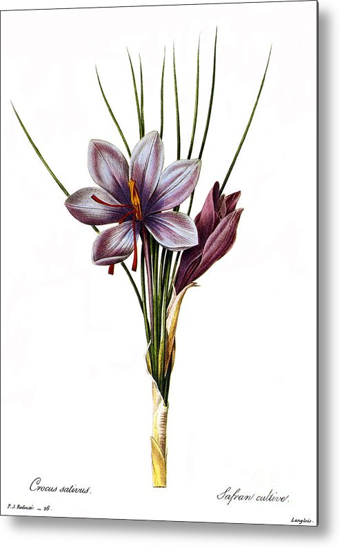 1833 Metal Print featuring the photograph Botany: Saffron by Granger