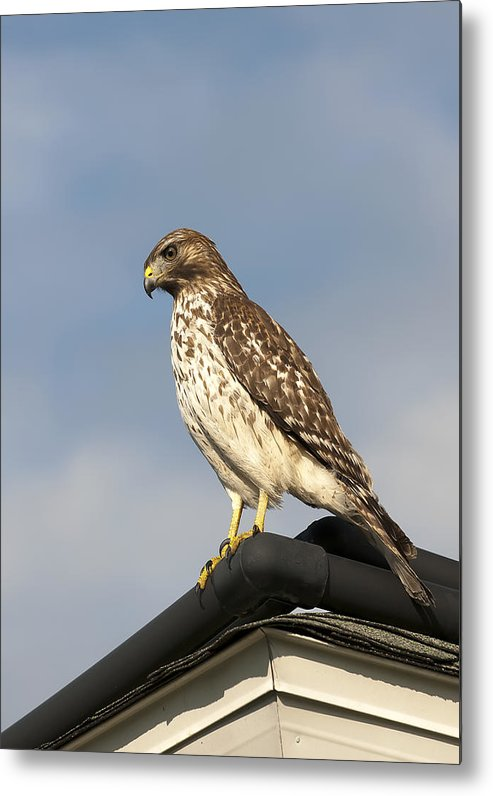 Bird Metal Print featuring the photograph Hawk by Gouzel -