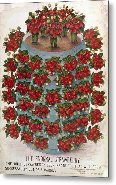 1889 Metal Print featuring the photograph Strawberries, 1889 by Granger